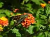 Hesperiidae: Urbanus proteus - Long-tailed Skipper (William Tanneberger) Tags: hesperiidae urbanus urbanusproteus longtailedskipper skipper butterfly wdtaugust pittspark