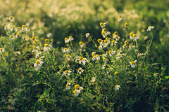 Many meadow chamomile on sunny background in autumn field (ddanilejko) Tags: beautiful chamomile field plant summer daisy meadow flower sunset spring background blossom outdoor season floral natural closeup bright sunlight bloom color fresh landscape grow many garden white sunny macro nature wildflower stem scenic detail sunrise yellow sun grass flora petals green sunshine marguerite scene scent soft camomile vintage lawn seed health grassland dusk rural fragile pollen twilight countryside focus silence autumn serenity