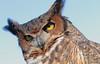 Oh Wise One (peterkelly) Tags: digital canon 6d ontario canada northamerica ignatiusjesuitcentreofguelph wildontario einstein owl greathornedowl birdofprey raptor bird eyes eye