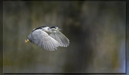 Black-crowned Night Heron  / Bihoreau Gris / Nycticorax nycticorax