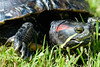 Decaze041 (Bobby's Road Photography) Tags: animaux animal tortue turtle tortuga chelonian proxy macro green wild outdoor florida reptile carapace head fujifilm xt2 90mm nature