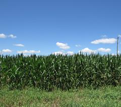 Cornfield in August (deu49097) Tags: corn field