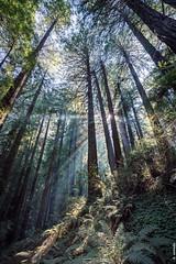 John Muir Woods (dennis armada) Tags: dennisarmada california summer 2017 sanfrancisco darmada muirwoods redwoods redwood trees nature nps outdoors outdoor nationalpark forest wilderness