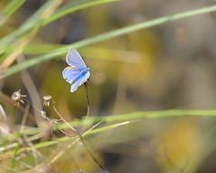 Common blue (Kees499  Nature pics) Tags: icarusblauwtje butterfly keesmolenaar nikon d500 maasvlakte polyommatusicarus 600mm holland vlinder commonblue