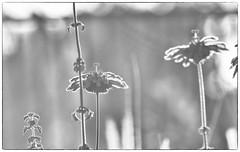Backyard2 (Robert Borden) Tags: garden flowers sunrise backyard bw blackandwhite canon canonphotos canonrebel santaclarita la losangeles socal california westcoast usa northamerica