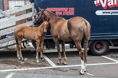 Wemmel, Jaarmarkt 2017 #1 (foto_morgana) Tags: animals belgique belgium belgië horse jaarmarkt2017 mammalia mammals mammifères nature outdoor säugetiere wemmel zoogdieren