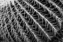Desert Minimalism (Thad Zajdowicz) Tags: zajdowicz sanmarino california usa huntingtongardens nature canon eos 5d3 5dmarkiii dslr digital availablelight lightroom outdoor outside ef50mmf12lusm primelens 50mm minimal minimalism fineart diagonal repeating repetition texture pattern flora plant cactus macro closeup barrelcactus succulent desert