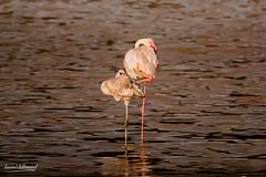 500_3575.jpg (Belzé) Tags: phoenicopteriformes phoeniconaiasminor continentsetpays afrique baringo oiseaux kenya flamantnain phoenicopteridae africa ke ken