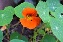 Nasturtium (sandhya.sahi) Tags: flower orange green plant homegrown dslr beginner photography nepal nasturtium edible