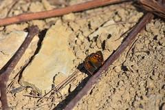 Lycaena phlaeas (esta_ahi) Tags: cantallops mariposa papallona butterfly lepidoptera insectos fauna lycaena phlaeas lycaenaphlaeas lycaenidae avinyonet penedès barcelona spain españa испания