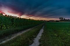 słoneczniki 6 (1 of 1) (Stach_Trach) Tags: sunset sunflower janów podlasie zachód