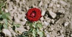 """Die Rose. Die Rosen. Diese rote Rose blüht in einer sehr trockenen Landschaft. • <a style=""""font-size:0.8em;"""" href=""""http://www.flickr.com/photos/42554185@N00/36446817182/"""" target=""""_blank"""">View on Flickr</a>"""