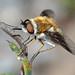Choristus bee fly