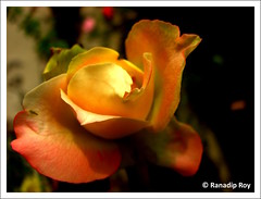 Secrets you hide (RanadipRoy) Tags: explore flower rose petals layered layer yellow orange nature closeup flora texture kolkata westbengal india shadows green garden canon powershots3is beauty plant