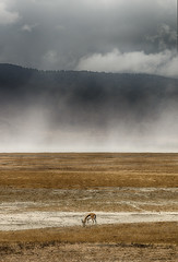 The Lonely 'Tommie' (AnyMotion) Tags: thomsonsgazelle thomsongazelle eudorcasthomsoni gazellathomsoni clouds wolken landscape landschaft craterrim kraterrand 2015 anymotion ngorongorocrater tanzania tansania africa afrika travel reisen animal animals tiere nature natur wildlife 7d2 canoneos7dmarkii ngc npc