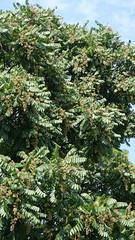 """Cedrela odorata""  cedro-rosa brasileiro / spanish-cedar (mauroguanandi) Tags: cedrelaodorata cedrorosabrasileiro spanishcedar cedar redcedar cedro brazilian flowers meliaceae"