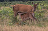 Mother's milk (R22GMS) Tags: deer fawn mothers wildanimals animal young