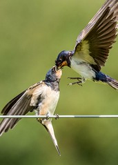 Yum (Jez Nunn) Tags: birdsbirdsinflightbirdswallownaturewildlifenikonphotographyfeeding
