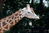 Rhenen - Ouwehands Zoo 2017-8452 (Quistnix!) Tags: 2017 ouwehandszoo dierenpark giraf giraffe zoo