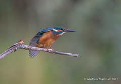 Kingfisher (Alcedo atthis) (Gowild@freeuk.com) Tags: aviemore cairngorms kingfisher scotland bird uk wild wildlife nature anumal water aquatic perched stretching wings summer adult andrewmarshall nikon