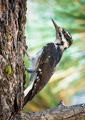 Hairy Woodpecker (cbjphoto) Tags: angeles carljackson photography losangeles hairy bird avian woodpecker crest