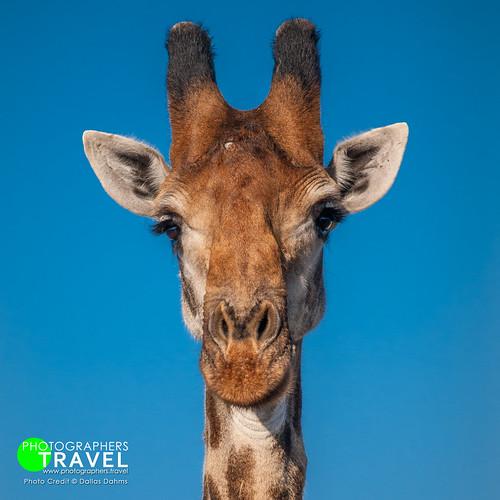 Giraffe - Sabi Sabi 2014