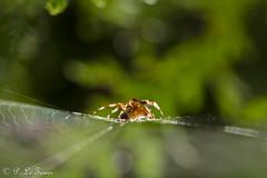 Une toile au petit matin (letexierpatrick) Tags: colors couleurs couleur animal araignée bokeh jardin macro nikon nikond7000 nature sigma105mm sigma france extérieur vert