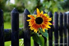 Sonne am Lattenzaun (grafenhans) Tags: konica minolta dynax maxxum 7d tamron 281750 blüte blume sonnenblumen zaun garten grafenwald bottrop nrw