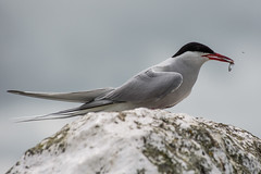 Arctic Tern With Sandeel (Barbara Evans 7) Tags: arctic tern wqith sandeel farne islands northumberland uk barbara evans7