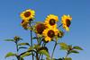 Summer (ako_law) Tags: 2470mm 500d canon canonef2470mmf4lisusm canoneos500d ef2470mmf4lisusm eos500d freistaatsachsen markkleeberg natur nature pflanze pflanzen plants sachsen saxony sonnenblume sonnenblumen sunflower