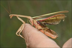 Ouch! (muledriver) Tags: mantis prayingmantis nature insects hurt injured