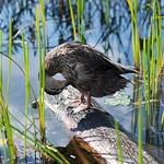 Duck in the Adirondacks thumbnail