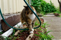 DSC02214 (flipswitch84) Tags: cats sigma sigma30mmf14dcdn animals pets cat sonya6300 outdoors