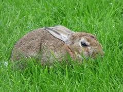 i see you wittle wabbit (Peanut1371) Tags: rabbit mammal grass nationalgeographicwildlife ireland