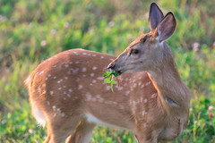 Fawn Eating Clover (Explored 9.1.17 #91) (Jenna.Lynn.Photography) Tags: munching clover fawn spots deer buck ears green orange wild wildlife backyard fur cute baby animal outside outdoors country mowing eating awesome lovely nature naturephotography wildlifescene wildlifephotography wildlifephotographer wilderness portrait summer new whitetail plants