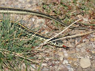 Plains Garter Snake / Thamnophis radix