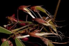 Kennedia rubicunda (andreas lambrianides) Tags: kennediarubicunda fabaceae faboideae duskycoralpea australianflora australiannativeplant australianrainforests australianrainforestplants nswrfp vrfp qrfp subtropicalarf dryarf littoralarf warmtemperatearf marginalarf arfflowers arfp redarfflowers purplearfflowers maroonarfflowers