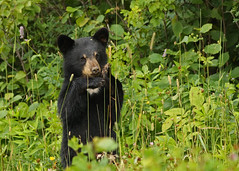 Black Bear Cub...#3... in vogue... (Guy Lichter Photography - 3.7M views Thank you) Tags: canon 5d3 canada manitoba rmnp wildlife animals mammals bears blackbear cub
