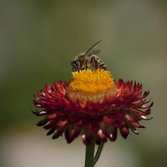 Au coeur du sujet (Titole) Tags: bee abeille titole nicolefaton immortelle everlastingflower shallowdof flower insect squareformat explored