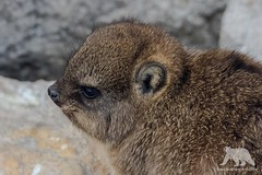 Dassie Portrait (fascinationwildlife) Tags: animal mammal wild wildlife nature natur bettys bay south africa southern cape coast beach rock hyrax dassie young baby portrait klippschliefer südafrika