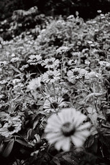 Flowers of the Dead (emricoquindo) Tags: kentmere 100 bnw blackandwhite flowers dead canon a1 film philippines manila longlivefilm