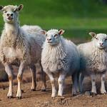 Three Icelandic Sheeps thumbnail