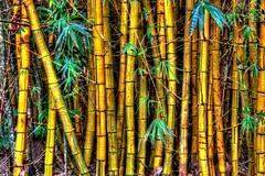 Bamboo (DaveFlker) Tags: bamboo kauai hawaii