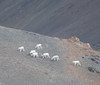 Dall Sheep in Denali National Park (Modern Day Explorer) Tags: denali national park alaska dall sheep