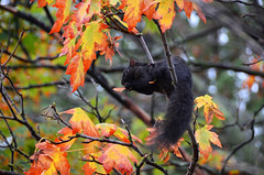 All Canadians love maple (James_D_Images) Tags: fall autumn leaves foliage red green brown black squirrel eating maple seeds acer branch wildlife stanley park vancouver britishcolumbia
