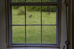 Six Panes Two Turkeys (brucetopher) Tags: window inside lookingout frame frames pane glass through looking watching behindglass outside outdoor lawn garden animal bird wild wildlife walking walk strut grass green antique farmhouse farm adirondacks newyork country rural travel holiday vacation touring tourism road trip roadside america northeast lakechamplain lakesregion trail hiking path adventurecourse expedition discovery discover nature natural