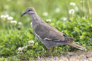 White-winged Dove / Tourterelle à ailes blanches