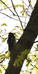 Goose Island County Park (turn off your computer and go outside) Tags: 2016 birdsofminnesotaandwisconsinpage197 gooseislandcountypark hairywoodpecker lifebird may picoidesvillosus wi westernwisconsin bird clearday critter identified nature outdoors spring