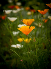 Orange Pop Up (allie.hendricks.photography) Tags: newport plant summer 2017 june season nikond40x nature flower camera rhodeisland month unitedstates year greenanimalstopiary world