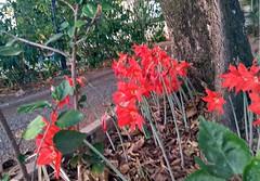 Jardim dos origamis reais (Galeria FotografArte) Tags: flor vermelho red flower fiore brazil origami jardim